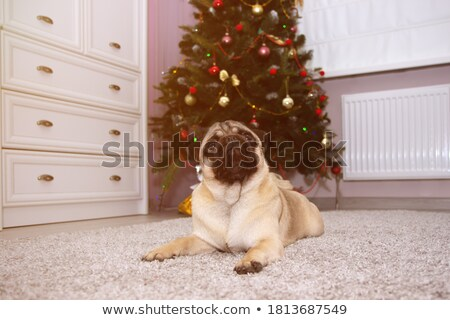 Stock photo: Pug in front of a Christmas tree