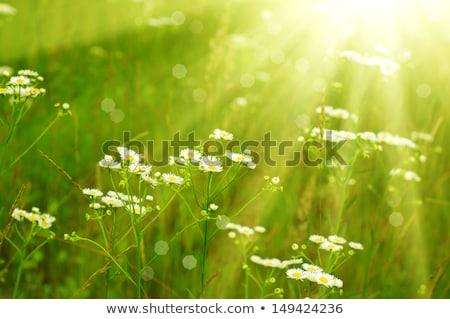 Weiß zunehmend Blumen natürlichen wenig Stock foto © OleksandrO