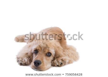 Cute golden looking at camera with nostalgia Stock photo © ozgur