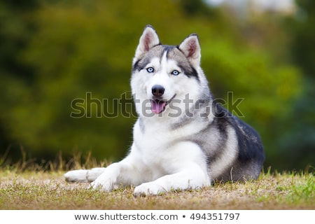 Husky · chien · arctique · illustration · fond · art - photo stock © bluering
