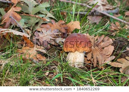 Boleto roble arboleda grande crecer setas Foto stock © romvo