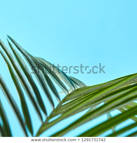 macro photo of fresh palm leaf on a blue background with space for text creative natural layout stock photo © artjazz