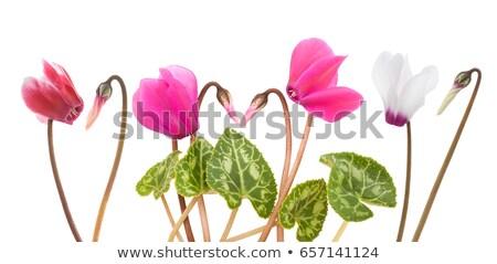 Lila Blumen Stengel Illustration Natur Blatt Stock foto © colematt