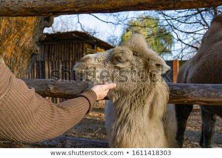 Mutlu deve açmak hayvanat bahçesi örnek çocuklar Stok fotoğraf © colematt
