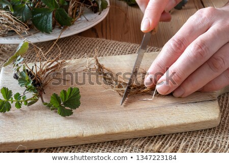 Hands cutting Herb Bennet roots with a knife Stock photo © madeleine_steinbach