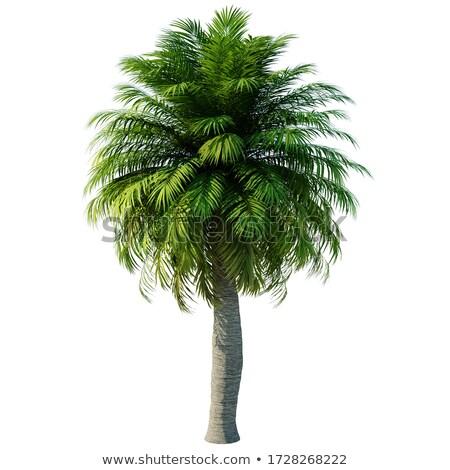 Palmboom witte geïsoleerd 3d illustration blad palm Stockfoto © ISerg