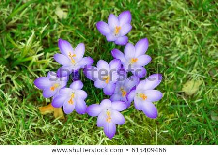 çiğdem çiçekler çayır bahçe doğa bitki Stok fotoğraf © manfredxy