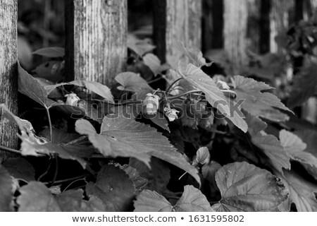 hop · veld · groeiend · hemel · patroon · landbouw - stockfoto © manfredxy
