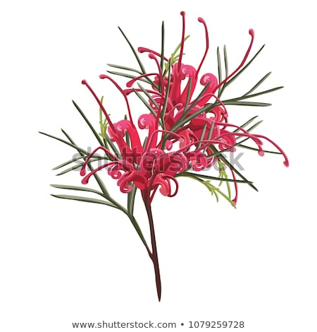 pink flower australia grevillea australian native plant Stock photo © sherjaca