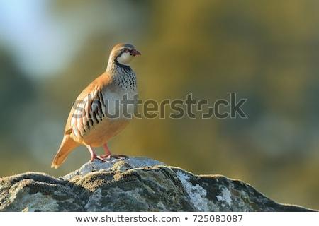 British game bird Red legged Partridge (Alectoris rufa) Stock photo © latent