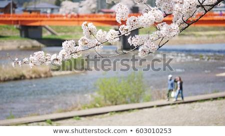 Japanese cherry blossom in kakunodate Stock photo © yoshiyayo