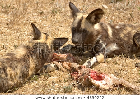 Cape Hunting Dog Eating Meat Foto stock © clearviewstock