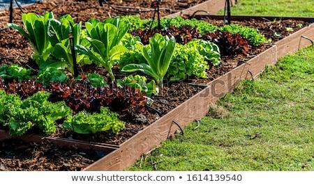 green lettuce salad 9 stock photo © theprophet