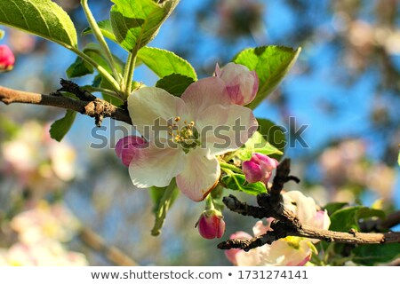 Beautiful tree blossoms against a blue background.  stock photo © inxti