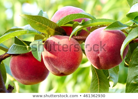nectarine fruits on a tree with red color Stock photo © lunamarina