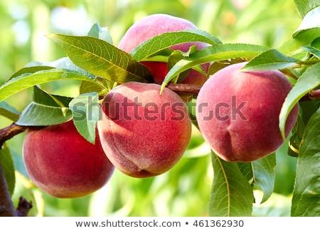 Nectarina frutas árvore vermelho cor verde Foto stock © lunamarina