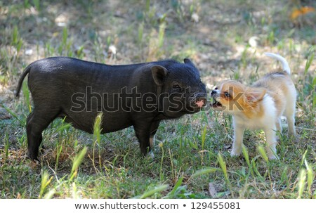 liitle piggy and chihuahua stock photo © cynoclub