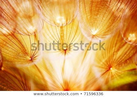 Karahindiba kahverengi yeşil duvar kağıdı bitki Stok fotoğraf © przemekklos