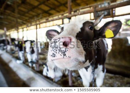calf inside of a cow barn Stock photo © prill