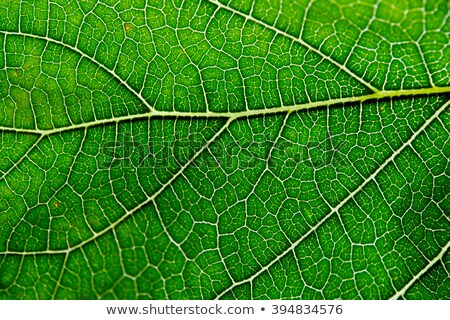 Stock photo: transparency mulberry leaf green nature macro