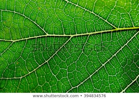 transparency mulberry leaf green nature macro Stock photo © lunamarina