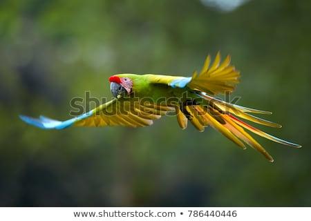 katonaság · papagáj · madár · szín · trópusi · állat - stock fotó © elenarts