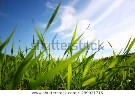 gras · blauwe · hemel · hemel · achtergrond · kunst · schilderij - stockfoto © zzve