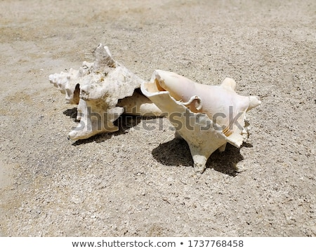 Two conch Stock photo © zzve