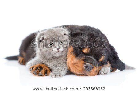 Genç rottweiler kedi yavrusu portre köpek yavrusu Stok fotoğraf © cynoclub