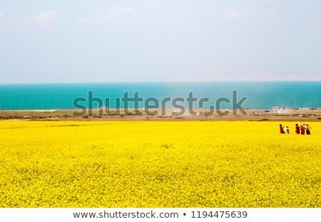 Cole flowers Stock photo © varts