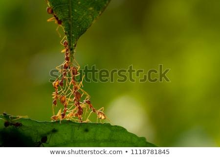 Formiga pormenor árvore folhas flor grama Foto stock © maros_b