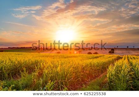 naplemente · mező · zöld · fű · égbolt · tavasz · fű - stock fotó © mycola