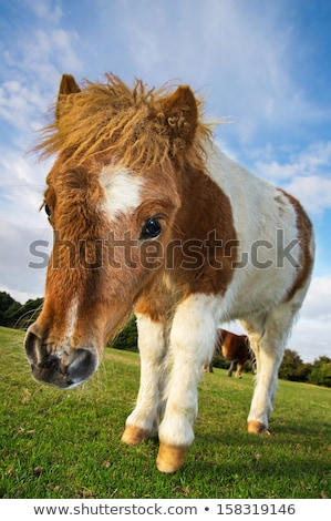 Close up foal with brown and white Stock photo © Yongkiet