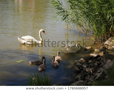 graceful swan on the shore of a lake Stock photo © sognolucido