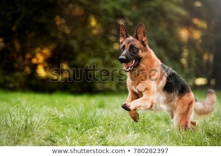 corrida · pastor · coleira · campo · cão · livre - foto stock © jarin13