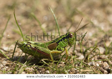 Alpine grasshopper, Miramella alpina Stock photo © mady70