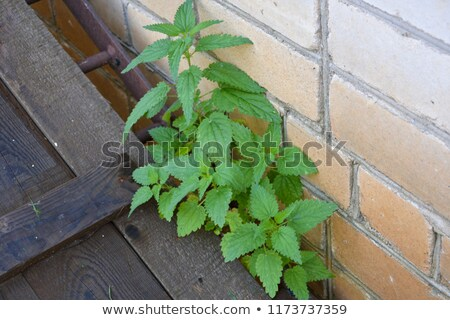 Nettle bushes growing on a stone wall. Stock photo © g215