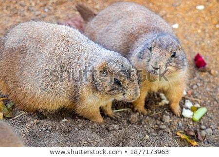 iki · Yunan · köpek · fare · doğa · köpekler - stok fotoğraf © compuinfoto