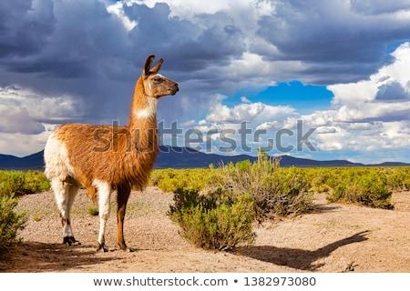 Lama at sunset Stock photo © adrenalina