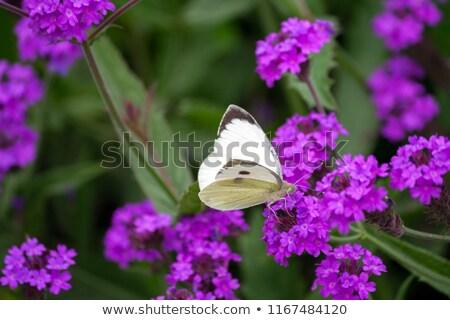 Slender vervain (Verbena rigida) Stock photo © rbiedermann