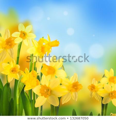 Voorjaar narcissen blauwe hemel Geel licht top Stockfoto © frannyanne