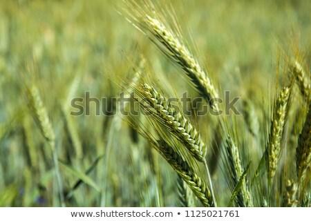 Cosecha listo orejas híbrido trigo Foto stock © stevanovicigor