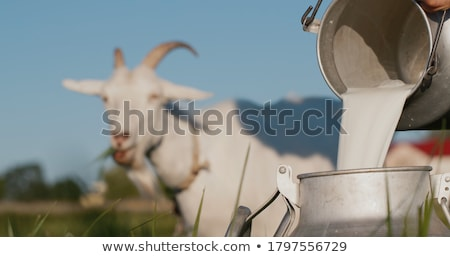 Goat milking  Stock photo © smuay