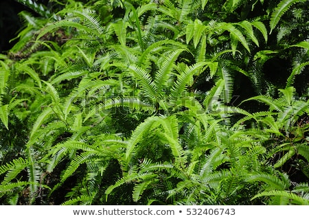 Adiantum hispidulum Stock photo © bluering