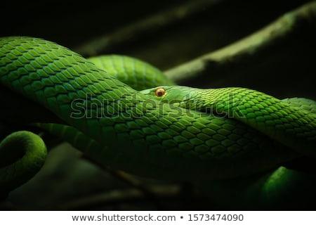 green mamba in a tree stock photo © simoneeman