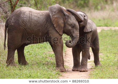playful elephant in the kruger national park south africa stock photo © simoneeman