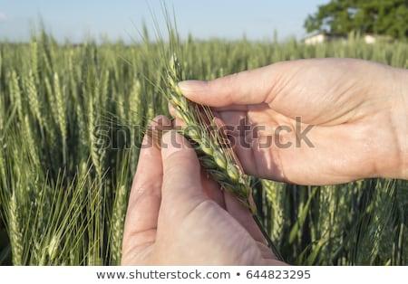 felelős · gazdálkodás · női · gazda · gabonapehely · termés - stock fotó © stevanovicigor