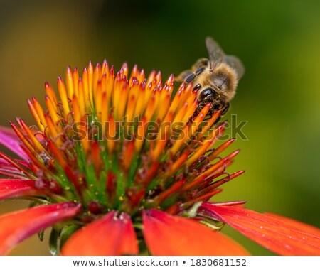 Bee verzamelen nectar bloesem macro dier Stockfoto © manfredxy