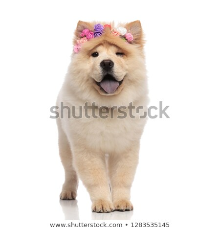 Stock photo: adorable chow chow wearing fresh flowers headband panting and wi