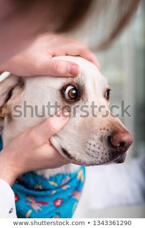 Close-up of a vet specialist examining dog Stock photo © Kzenon